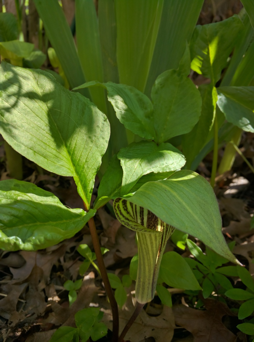 [Jack-in-the-pulpit]